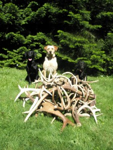 Antler Shed Trophies