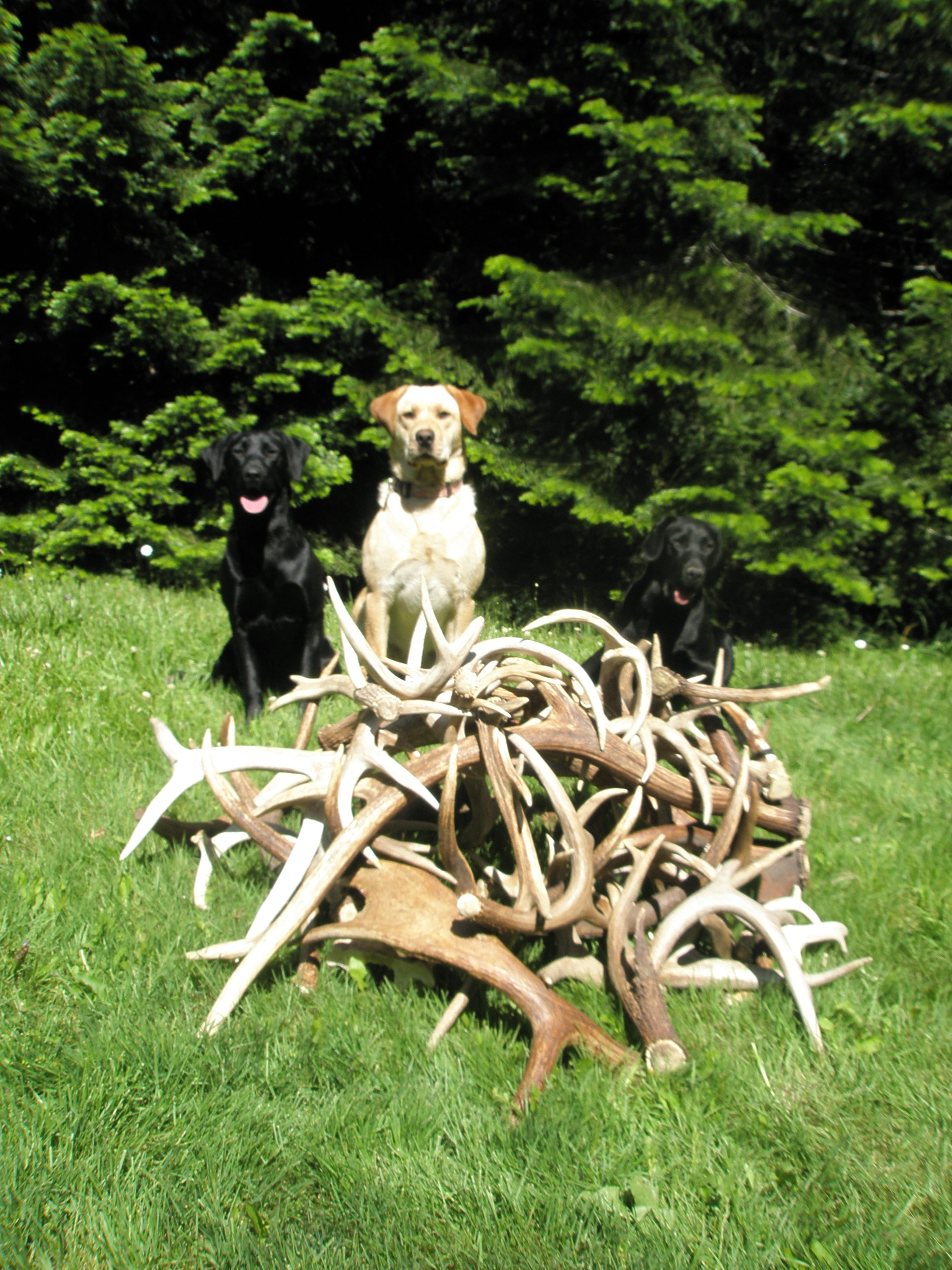 North idaho shed antler dogs trained horn hunting labrador retriever