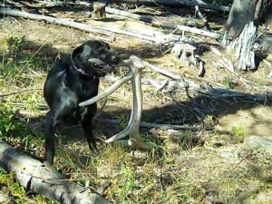 how to train a shed antler dog