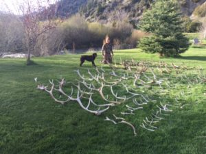 chocolate-lab-puppy-horn-bone-sheds-antler-hunting-dog
