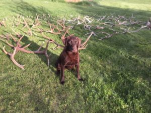 chocolate-lashed-antler-horn-bone-hunting-lab