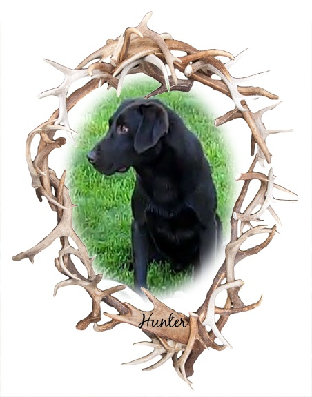 Hunter | Chocolate Lab Antler Shed Hunter | Trained Horn